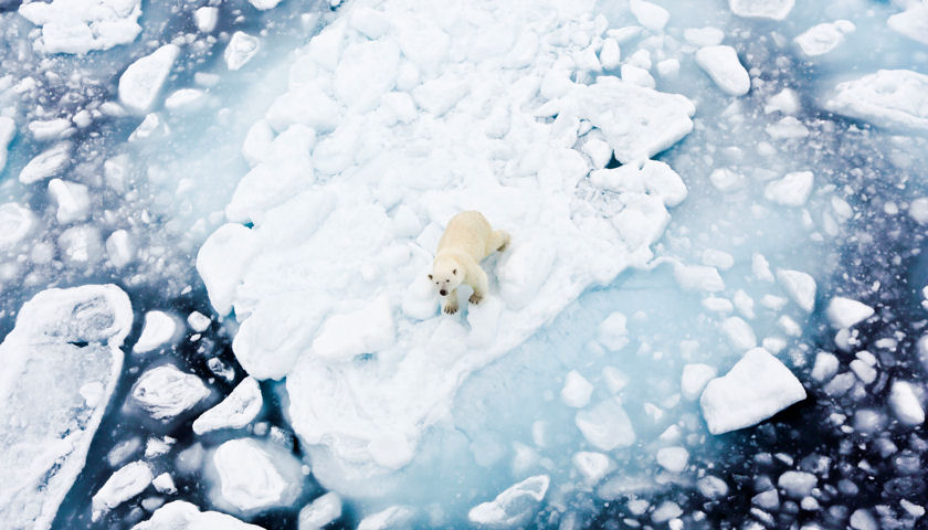 Polar Bear, Arctic